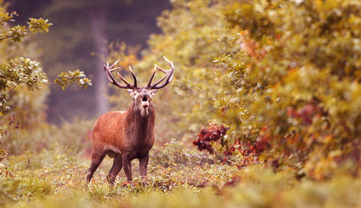Cerf qui brame en forêt des Bertranges