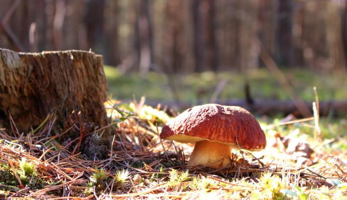 Champignon cèpe dans la forêt du Morvan