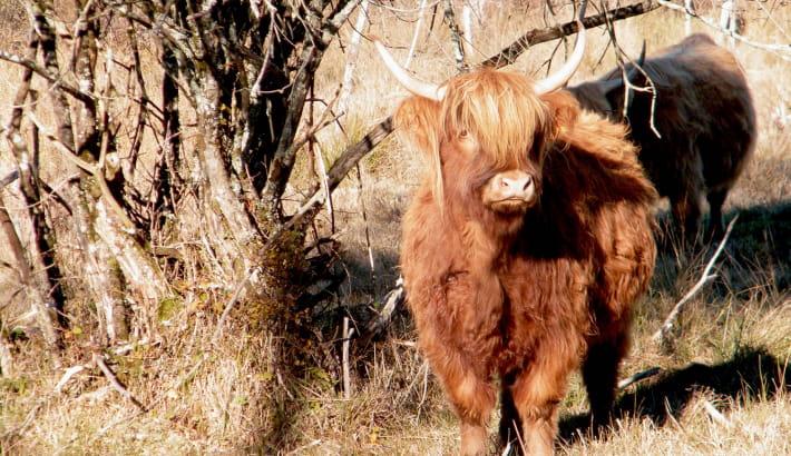 Highland Cattle au milieu des tourbières